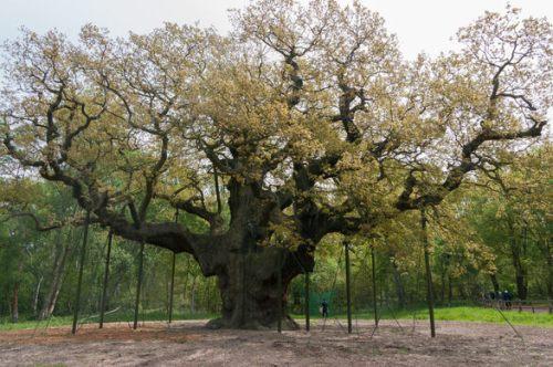 Major Oak photo by Jerzy Kociatkiewicz